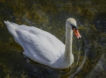 Adult white swan floats in clear water Royalty Free Stock Images