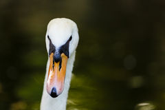 Adult white swan portrait. Close up head and neck portrait of an elegant adult white swan looking directly at the camera on a dark background with copyspace Stock Photo