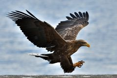 Adult White-tailed eagle in flight. Scientific name: Haliaeetus albicilla, also known as the ern, erne, gray eagle, Eurasian sea eagle and white-tailed sea Stock Images