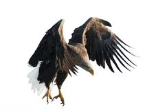 Adult White-tailed eagle in flight. Isolated on White background. royalty free stock photo