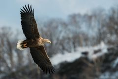 Adult White-tailed eagle in flight. stock photo