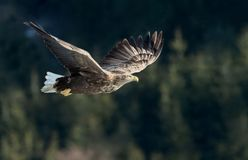 Adult White-tailed eagle in flight. royalty free stock photography