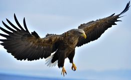 Adult White-tailed eagle in flight. Scientific name: Haliaeetus albicilla Royalty Free Stock Photos