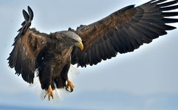 Adult White-tailed eagle in flight. Scientific name: Haliaeetus albicilla Royalty Free Stock Images