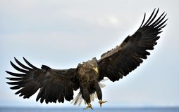 Adult White-tailed eagle in flight. Scientific name: Haliaeetus albicilla Stock Photography