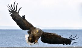 Adult White-tailed eagle in flight. Scientific name: Haliaeetus albicilla. Also known as the ern, erne, gray eagle, Eurasian sea eagle and white-tailed sea stock photos