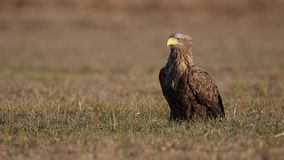Adult white-tailed eagle, halitaeetus albicilla, sitting in natural environment.