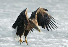 Adult White-tailed eagle landed. stock photo