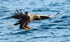 Adult White-tailed eagle in motion, fishing. Blue Ocean Background. Scientific name: Haliaeetus albicilla, also known as the ern,. Erne, gray eagle, Eurasian stock image