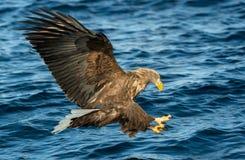 Adult White-tailed eagles fishing. Blue Ocean Background. Scientific name: Haliaeetus albicilla, also known as the ern, erne, gray. Eagle, Eurasian sea eagle royalty free stock photos