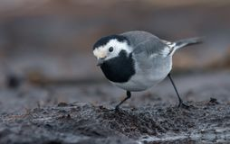 Adult White Wagtail in full feathers posing on dirty ground in cloudy day stock photos
