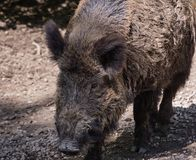 Adult wild boar. Close-up of adult wild boar looking for food Stock Photography