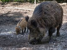 Adult wild boar. Close-up of adult wild boar looking for food Stock Images