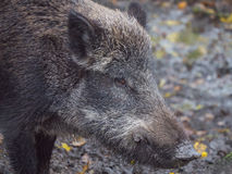 Adult wild boar Royalty Free Stock Photography