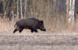 Adult wild boar male runs alone in the early spring field near the wood in the evening stock image