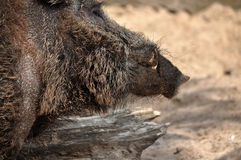 Adult wild boar portrait. Stock Images