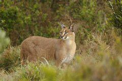 Adult wild Caracal in savannah vegetation Royalty Free Stock Images