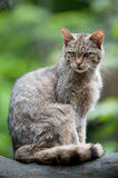 Adult wildcat. Adult female wildcat (lat. Felis silvestris) sitting on a branch Royalty Free Stock Images