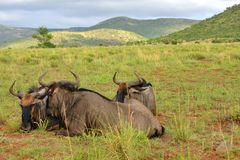 Wildebeests resting in savanna. 3 adult wildebeests resting after a long hot day Royalty Free Stock Photography