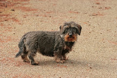 Adult wire-haired dachshund Royalty Free Stock Photography