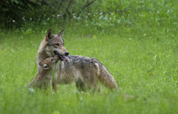 Adult Wolf with Coyote Pup in green grass. Stock Images