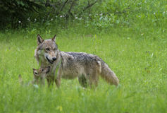 Adult Wolf with Coyote Pup in green grass. royalty free stock photos