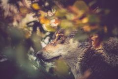 Adult wolf, head capture in thickets. Autumn landscape with dominant wolf head royalty free stock photography