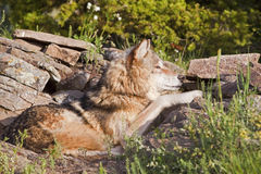 Adult wolf lying in rock den Stock Images