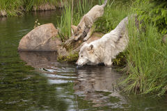 Adult Wolf and Pup Drinking from River Royalty Free Stock Image