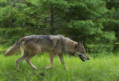 Adult Wolf walking through green grass. Royalty Free Stock Image