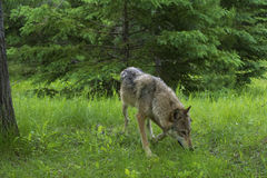 Adult Wolf walking through green grass. Royalty Free Stock Photos