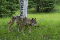 Adult Wolf walking through green grass. Stock Photography
