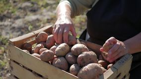 Adult woman farmer collects and sorts fresh potatoes into wooden box. Harvest of young potatoes is harvested in garden. The concept of ecological food and stock footage