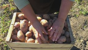 Adult woman farmer collects and sorts fresh potatoes into wooden box. Harvest of young potatoes is harvested in garden. The concept of ecological food and stock video footage