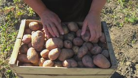 Adult woman farmer collects and sorts fresh potatoes into wooden box. Harvest of young potatoes is harvested in garden. The concept of ecological food and stock video