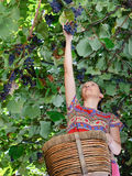Adult woman harvesting grapes Royalty Free Stock Photo
