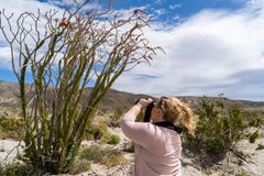 Adult woman photographer takes pictures of a flowering Ocotillo plant in bloom in Anza Borrego State Park during the California. Super bloom 2019 stock photos