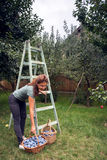 Adult woman with plum harvest collected in the basket Stock Image