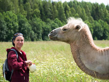 Adult woman is standing next to a camel and holds in hands cabbage on the blurry background of forest Royalty Free Stock Photography