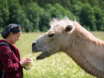 Adult woman is standing next to a camel and holds in hands cabbage on the blurry background of forest Royalty Free Stock Images