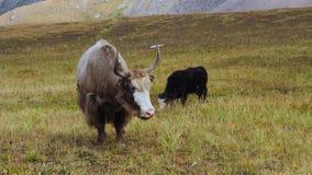 Tibetan yak with baby. Tibetan yak pet