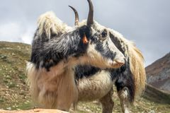 Adult Yak looking to the right royalty free stock photos