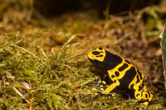 Adult Yellow-banded Poison Dart Frog. A close up of a Yellow-banded Poison Dart Frog crawling over a bed of moss Stock Images