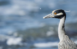Adult Yellow-crowned Night-Heron (Nyctanassa violacea) on the Be Royalty Free Stock Images