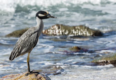 Adult Yellow-crowned Night-Heron (Nyctanassa violacea) on the Be Royalty Free Stock Photography