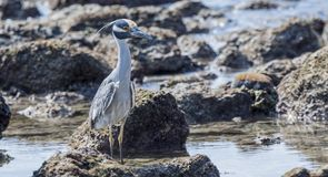 Adult Yellow-crowned Night-Heron Nyctanassa violacea Perched o. N Rocks Near the Ocean in Mexico Royalty Free Stock Photo