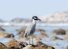 Adult Yellow-crowned Night-Heron Nyctanassa violacea Perched on a Rock. Adult Yellow-crowned Night-Heron Nyctanassa violacea Perched on Rocks Near the Ocean in Royalty Free Stock Images