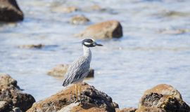 Adult Yellow-crowned Night-Heron Nyctanassa violacea Perched on a Rock. Adult Yellow-crowned Night-Heron Nyctanassa violacea Perched on Rocks Near the Ocean in Stock Images
