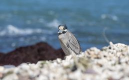 Adult Yellow-crowned Night-Heron Nyctanassa violacea Perched on a Rock. Adult Yellow-crowned Night-Heron Nyctanassa violacea Perched on Rocks Near the Ocean in Royalty Free Stock Photo