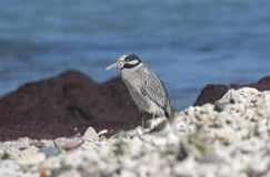 Adult Yellow-crowned Night-Heron Nyctanassa violacea Perched on a Rock. Adult Yellow-crowned Night-Heron Nyctanassa violacea Perched on Rocks Near the Ocean in Stock Photo